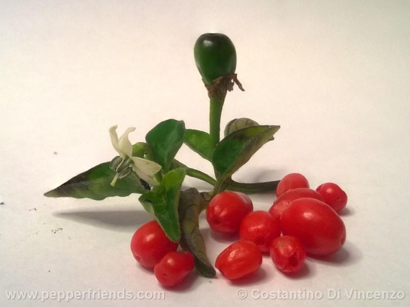 https://www.pepperfriends.org/uploads/odham-chiltepin/003/odham-chiltepin_003_frutto_05.jpg