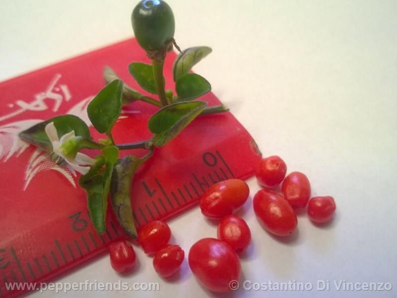 odham-chiltepin_003_frutto_07.jpg