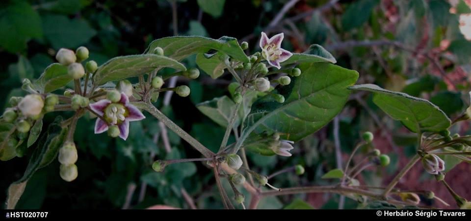 parvifolium2.jpg