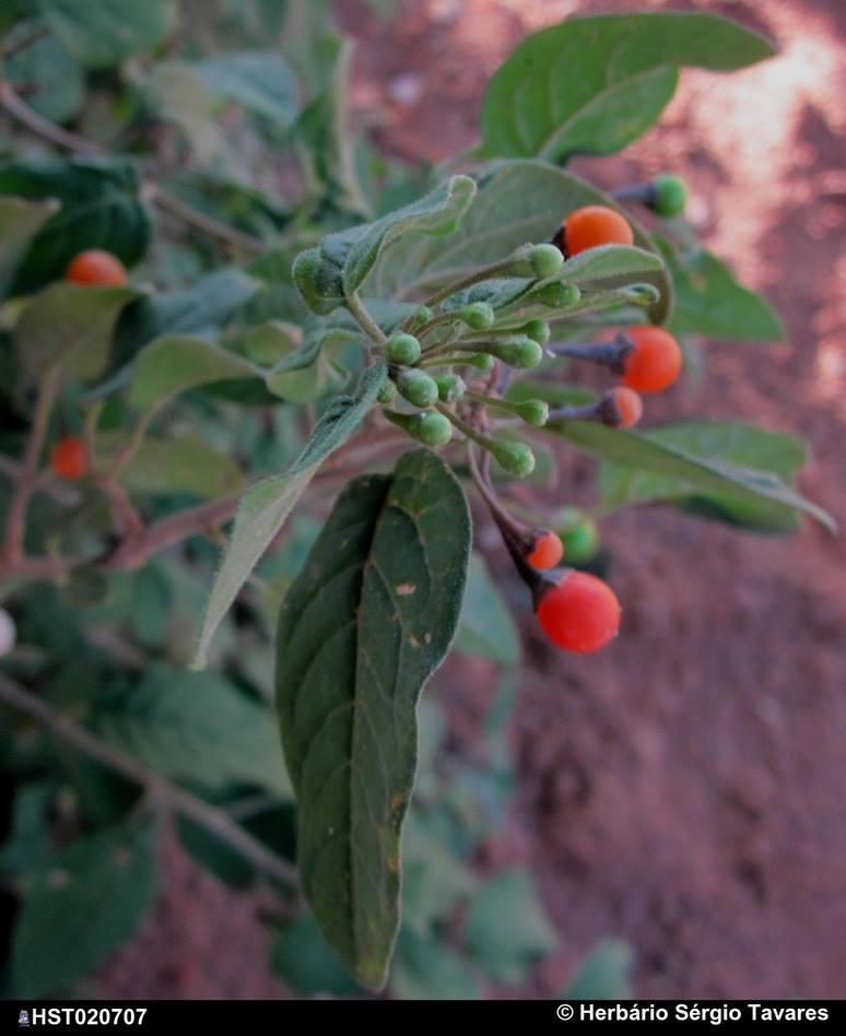 parvifolium3.jpg